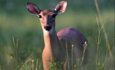 White-tailed deer, Mexico's biodiversity heritage