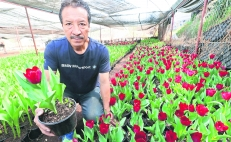 Calentamiento global afecta cultivo de tulipanes: productores