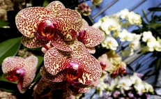 Orchids are in danger of extinction