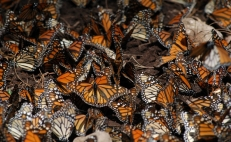 Changes in migration patterns put monarch butterflies at risk