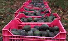 Mexican students create natural layer to protect avocados