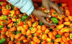 Mexican scientists obtain patent for Kisín, very spicy habanero pepper