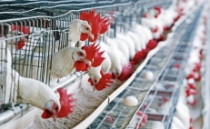 Mexican poultry products exports to Hong Kong suspended