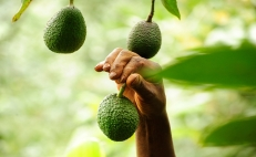 Mexican scientists sequence avocado genome