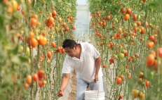 Mexico and the U.S. reach deal on tomato exports