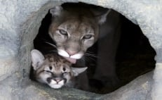 Mountain lion cubs born in Hidalgo