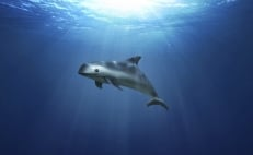 Sighting of vaquitas brings hope to the endangered species