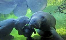 From poachers to guardians: saving manatees in Mexico