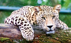 Mexican activist girl fights to save jaguars