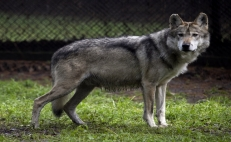 The Mexican wolf is no longer extinct
