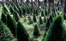Pick your own Christmas tree in Mexico City