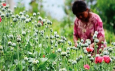 Extreme poverty and hunger has forced Mexican farmers to plant opium poppy