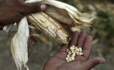 Mexico's craddle of corn is threatened by climate change