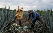 Soaring agave prices give tequila makers a headache