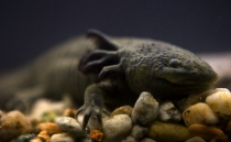 Axolotl genome could be crucial in the fight against cancer