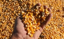 Mexican scientists develop drought-resistant maize