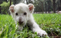 White lion cub born at zoo in Tlaxcala