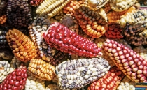 How was corn domesticated?