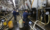 Mexican migrants face sexual harassment, exploitation, and threats at U.S. dairy farms