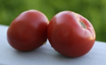 Mexican scientists develop edible COVID-19 vaccine using transgenic tomatoes