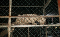 Mexican authorities rescue two tigers & exotic birds in Tamaulipas