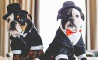 winston_churchill_mascotas_bulldogs_the_london_west_hollywood_hotel