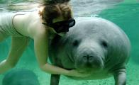 Fun facts about the endangered manatee