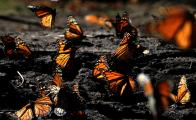 The monarch butterfly and Donald Trump's demagogic promises