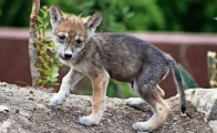 3 Mexican wolf cubs are born in Mexico