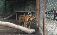 Mexican security forces rescue a tiger and a crocodile, drug cartel kept them as pets