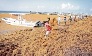 Sargassum could be used by the pharmaceutical and food industries