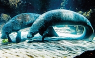 Toxic seaweed might be responsible for the death of 37 manatees