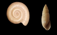 Mexican archeologists discover snails from the Pleistocene