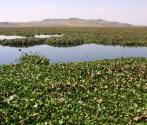 Once a pest, water hyacinth is now a sustainable product
