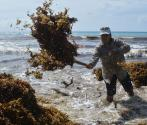 Sargassum could be used to grow mushrooms