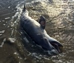 279 dolphins stranded on Gulf of Mexico, 98% dead