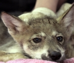 Two Mexican gray wolf pups were born in Mexico City