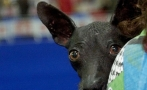 Mexican hairless dog, Xoloitzcuintle, the guide to paradise