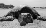 101 endangered sea turtles found dead on Mexican beaches