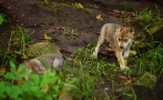 6 Mexican wolf cubs born at Chapultepec Zoo
