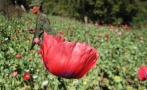21 men were kidnapped and forced to plant opium poppy and marijuana