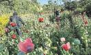 The President of the Mexican Senate supports poppy legalization