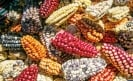 Rescuing native maize