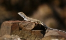 Climate change threatens 9 lizard species in Mexico
