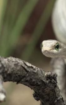 Mexican antivenom used in seven African countries