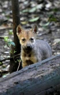 Restoring the Mexican wolf population in Mexico and US