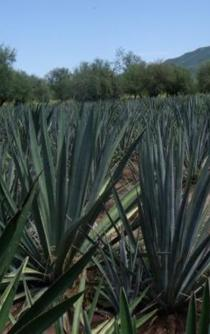 Agave Beverage with White Wine Flavor Created