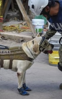 Rescue dogs, the four-legged heroes