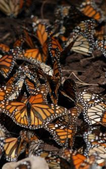 Monarch Butterflies keep coming to Mexico