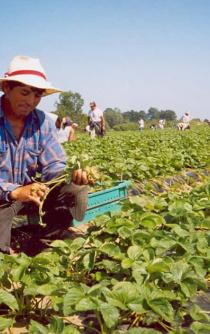 Agricultural workers' hopes and dreams are set in Canada